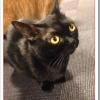 猫ボンベイの飼い方や性格や値段は?黒ヒョウと言われる理由は?