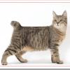 猫ピクシーボブの値段と性格や飼い方は?尻尾や大きさの特徴は?