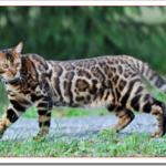 猫サファリの値段と性格や飼い方は?ベンガルやオシキャットとの違いは?