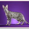 猫セレンゲティの値段と性格や飼い方は?サーバルやサバンナとの違いは?