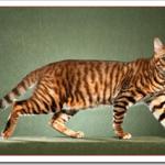 猫トイガーの値段と性格と飼い方は?トラを飼いたいならこれ?
