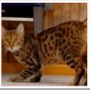 大型猫ハバリの値段と性格、特徴や飼い方は?ベンガルとの交配?