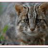 イリオモテヤマネコの絶滅原因は?交通事故、保護方法や生態特徴は?