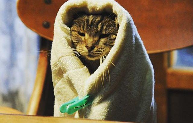 [せか猫コス]キャベツ巻きされる猫(犬)たちの大量画像