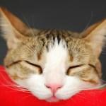 [猫の夏バテ]室内飼いの猫の熱中症のレベルと対策、知っておいて損は無い応急処置方法まとめ
