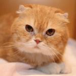映画 高台家の人々の公開日とあの個性的な猫の猫種とは?