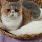 [ニャンキュッパ?]純烈新曲幸福あそびのPVに出ている鼻ぺちゃ猫の種類と名前って何?