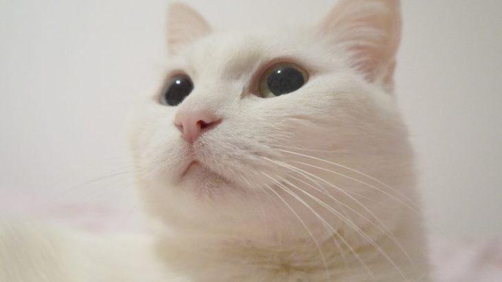 単色柄(黒・白・グレー)の猫の性格はどんな感じ?飼い方のポイントまとめ