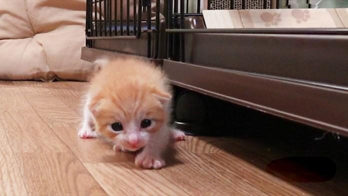 よちよち歩きの子猫