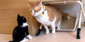 子猫のトイレを破壊する先住猫