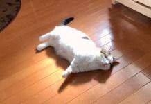 落ちてる猫