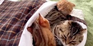 布団に入る猫達