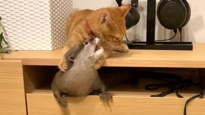 カワウソを引っこ抜く子猫