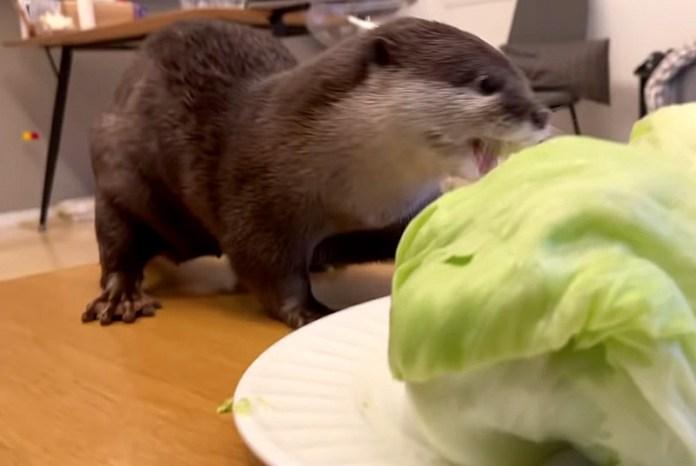 キャベツを食べるカワウソ