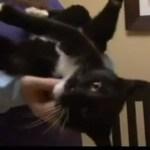 マイクロチップのおかげで、黒白猫が3年ぶりに飼い主の元へ帰還