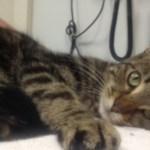 行方不明だった虎猫、1700マイル離れた電車の中で見つかる@イギリス