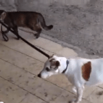 イヌのリードをくわえて、一緒に帰宅する猫の動画