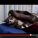 猫とナマケモノによるプロレスっぽい動画