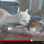仲良しすぎて嫉妬してしまいそうになる、猫とアルパカのふれ合い動画