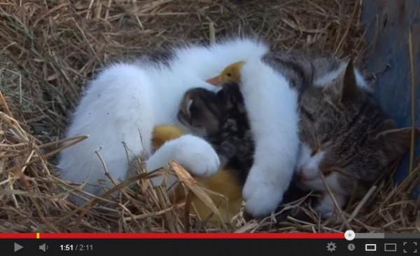 130526catwithducklings 600x365 - 自分の子どもと一緒に、アヒルの雛も抱えて眠ってしまう猫(動画)