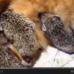 ハリネズミの赤ちゃんに授乳させる母猫(動画)