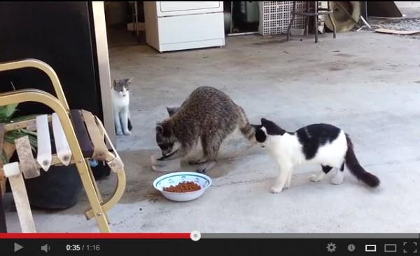 130719 Raccoon cat 600x365 - 突如あらわれたアライグマに、ご飯を奪われて困惑する猫(動画)
