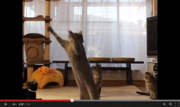 130914jumpingcat 600x358 - 猫まっしぐらなおもちゃ「バードオンスティック」に、跳びつく猫たち(動画)