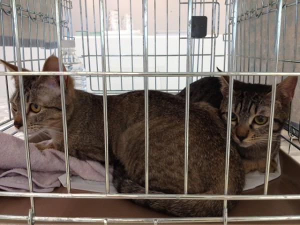130922cat01 600x450 - 神戸猫ネット主催の「猫の里親譲渡会」、9月29日にフェリシモ本社で開催