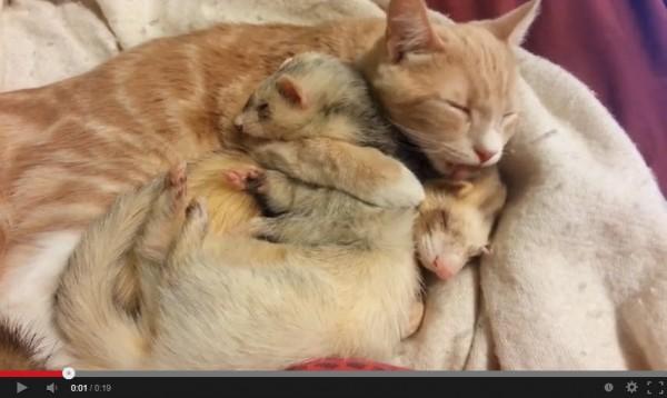 131103catwithferret 600x358 - フェレットが大好きすぎる茶白猫、抱きしめつつ毛づくろいする(動画)