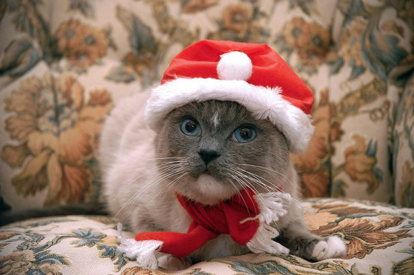 131224Christmascat 600x399 - 本日の美人猫vol.53