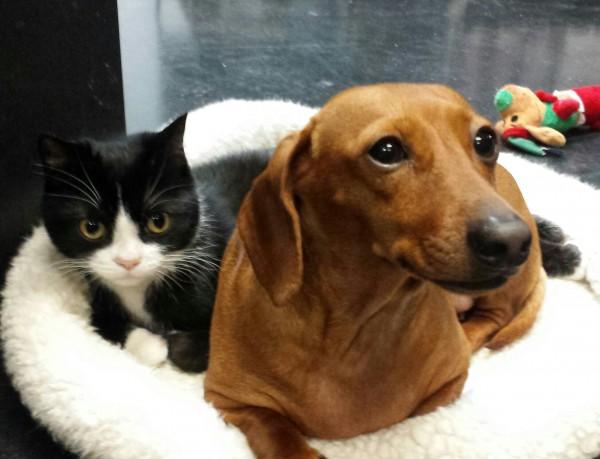 140118cat and dog 600x459 - 足の麻痺した猫と、そのそばから離れない友人のダックスフント(動画)