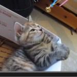 揺れるおもちゃを見つめる子猫、催眠術に掛かる