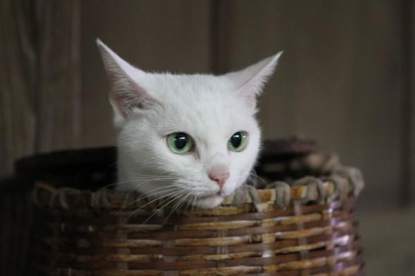 140203nekozamuraimovie02 600x399 - 白猫の玉之丞さまが主演する、劇場版「猫侍」の予告編がYouTubeで公開