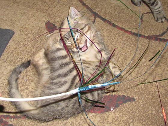 140226cat01 - 前脚を失った子猫、二足歩行で元気一杯に生きる