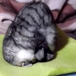 座布団で「ごめん寝」をする猫、まるでオニギリの形に