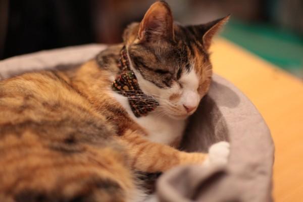 140420catbowtieJUTI02 600x400 - LINTON社製ツイードの、猫専用蝶ネクタイ「cat bow tie JUTI」