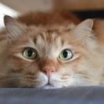 本日の美人猫vol.86