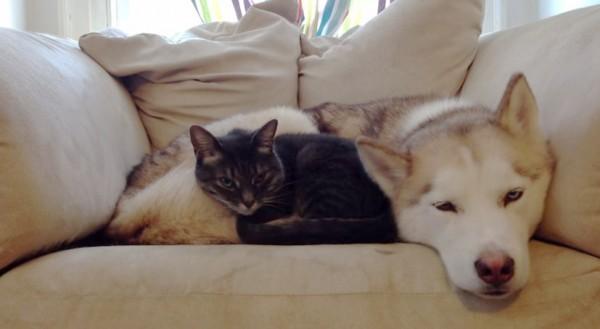 140720slppeondog 600x329 - 甘えん坊の黒トラ猫、眠るハスキー犬のお腹をベッドに眠る