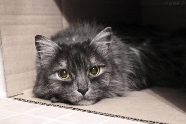 140809cat 600x399 - 本日の美人猫vol.94
