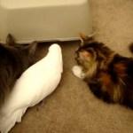 モフモフの猫たち、白いオウムとかくれんぼを楽しむ