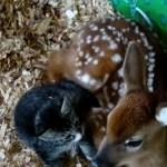 寄り添う子猫と子鹿、仲むつまじく共に丸まる