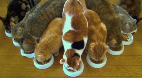 1410149cats 600x330 - 9匹の猫によるご飯タイム、どう見ても鋒矢の陣に