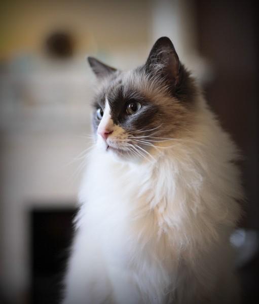 141015cat 511x600 - 本日の美人猫vol.106