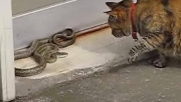 141030catvsSnake 600x337 - アオダイショウと戦う猫、猫パンチで見事退散させる