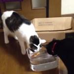 猫vsロボフィッシュ、半径数m内の猫がまとめて虜に