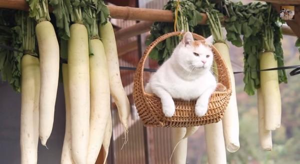 141208daikoncat 600x329 - カゴに乗って吊られる猫、大根といっしょに風に揺れる