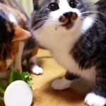 大根を食べる猫、群がりすぎてまるでピラニア状態に