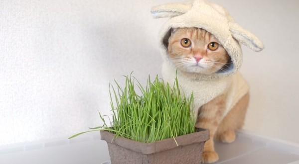 150104sheepcat 600x330 - ヒツジ風に草を食む猫、仕事始めの朝を和ませる