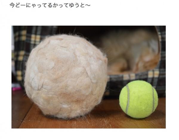 150121koimoball 600x468 - 丸め続けた猫社長の抜け毛、テニスボールの約二倍の直径に成長