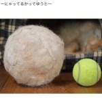 丸め続けた猫社長の抜け毛、テニスボールの約二倍の直径に成長